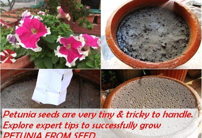 Grow Petunia From Seed Sow Petunia Seeds Petunias Growing Seeds Gardening For Beginners