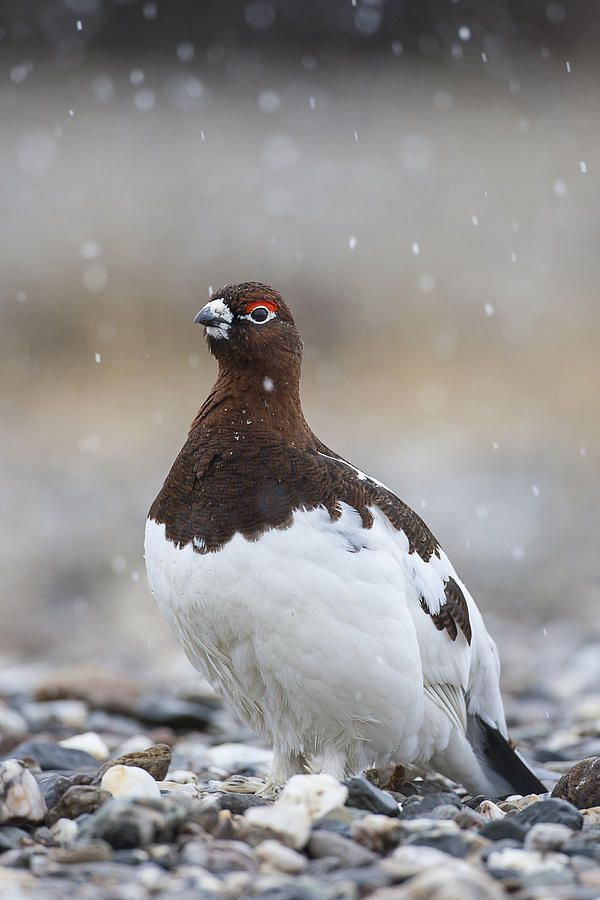 Alaska's state bird, the Willow Ptarmigan is a bird in the grouse subfamily Tetraoninae of the pheasant family Phasianidae. It is also known as the Willow Grouse and in the British Isles, where it was previously believed to be a separate species, as the Red Grouse.