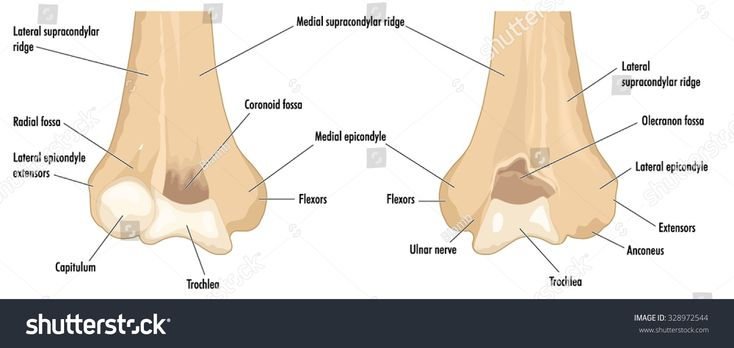 The distal humerus showing the major anatomical features ...