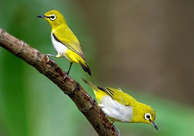 Cara Membedakan Burung Pleci Jantan dan Betina