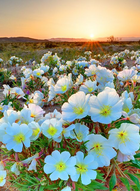 Desert Tissue Spring Flowers, Joshua Tree National Park, CA.  Photo: Ireena Eleonora Worthy, via Flickr