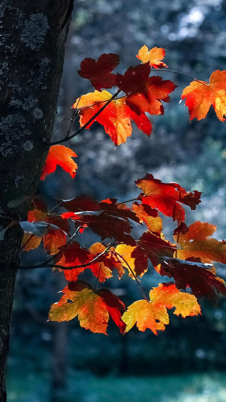 Nature iPhone 6 Plus Wallpapers Autumn Leaves On The