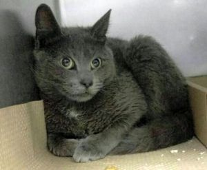 Super Urgent Shelter Cats  These animals are either high risk, injured or have previously appeared on the To Be Destroyed list and survived. They are in danger of being on the list again or destroyed without any further notice.