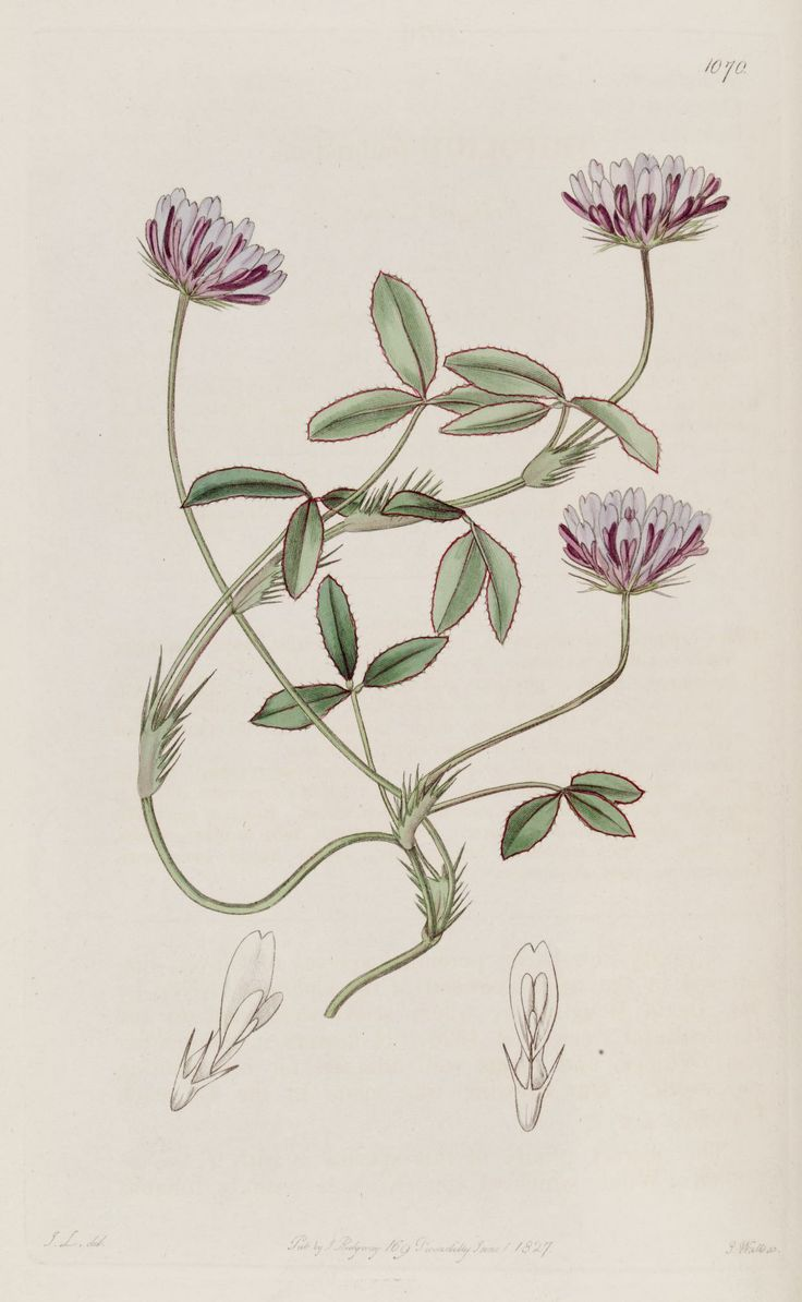 v. 13 (1827) - The Botanical register - Biodiversity Heritage Library  -  fringed clover