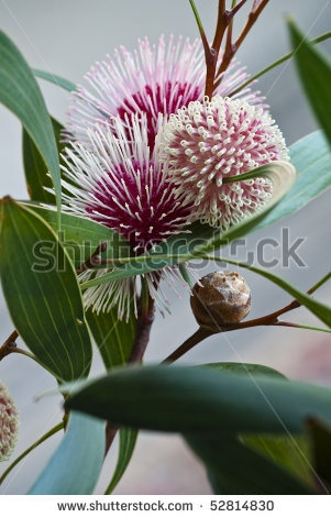 Hakea laurina (Pin-cushion Hakea) is one of the most beautiful native plants of south-western Australia. In Italy and America its uses include street and hedge planting. by David Lade, via ShutterStock
