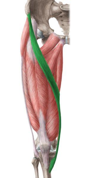Sartorius: asis (origin) medial surface of proximal tibia ...