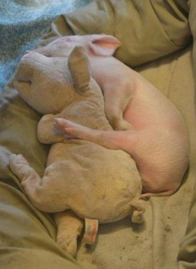 pig and stuffed pig