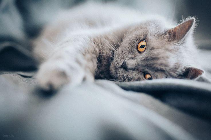 happy world cat day - Poldi <3  #cat #photography #cute #pet #lookslikefilm #britishlonghair #fotografin #nrw