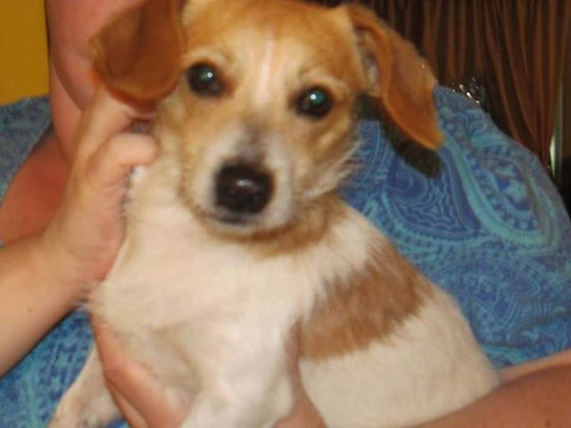 """Alberta's lost pet locator shared Lethbridge and Area - Lost & Found Pets's photo. Yesterday Posted by Danita Hironimus Clifton on Monday, July 8th/2013: - FOUND in SHAUGHNESSY - """"Daschund Cross Found in Shaughnessy."""" (Please provide Proof of Ownership: Vet Bills/Photos/Dog License, and Phone 587-425-0803 to claim)"""