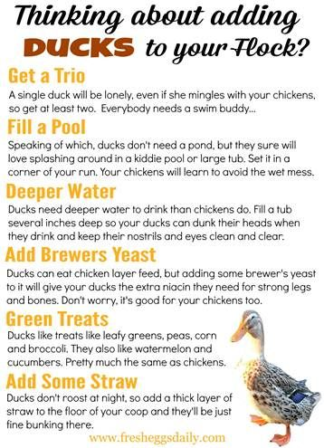 What to know about adding ducks or ducklings to your flock from poultry expert @fresheggsdaily