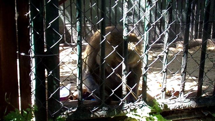 Food based enrichment for Baboon (Zoo Bratislava)