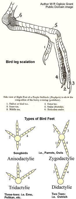 bird anatomy for artists pdf