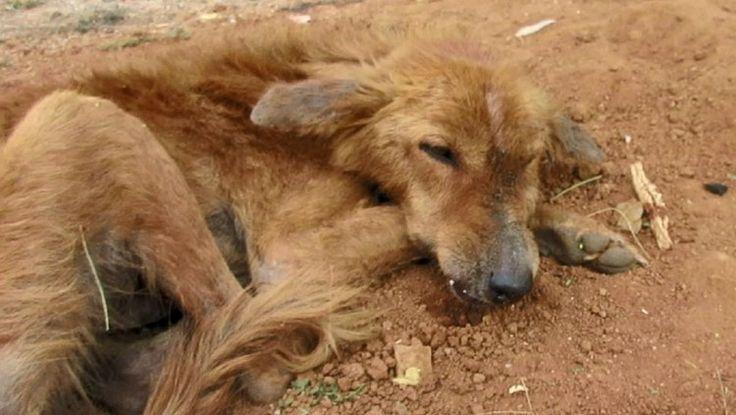 Se apiadan del perro con la mandíbula reventada que llevaba dos días sin poder moverse de la misma posición  #perro #perros #india #animales #animal #mascota #mascotas #cachorro #cachorros #rescate #noticia #noticias #schnauzi #video #videos #viral