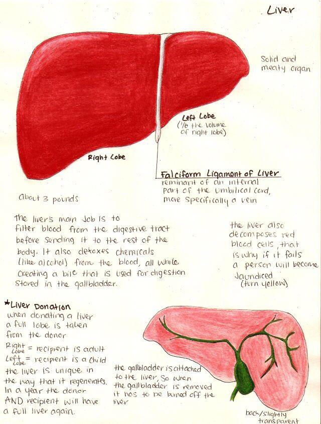25 besten muscle_blank Bilder auf Pinterest | Anatomie, Muskel und ...