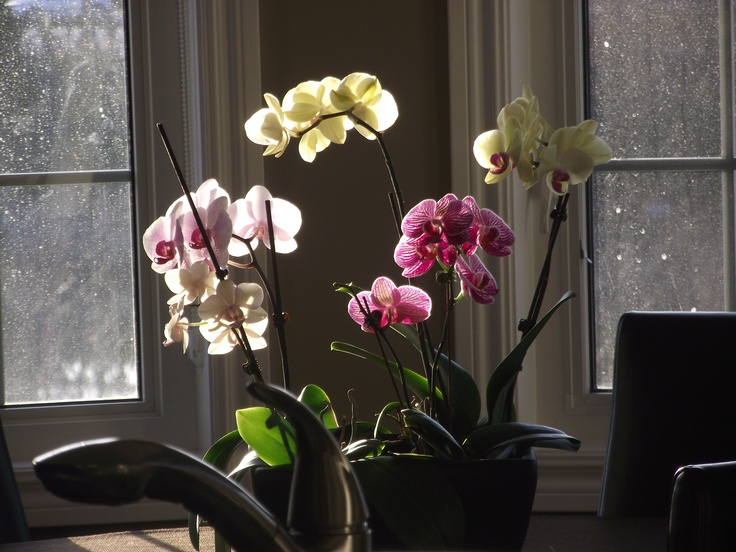 2013 winter blooms - kitchen centrepiece #orchids #home