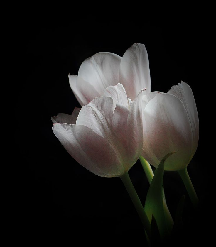 Tulipán by katikiralyne