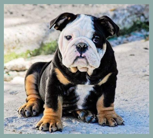 The Complete Guide To English Bulldogs How To Find Train Feed