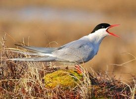 Arctic Tern - Longest Migration Arctic terns migrate about 11,000 miles to the Antarctic each year...and then come all the way back!