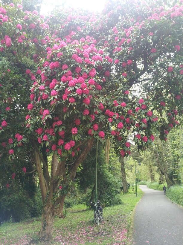Tremough in bloom