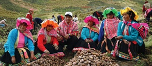 In Peru Two New Potato Varieties Provide Food as Other Native Varieties Suffer from Late Blight Disease | GR2Food Archive