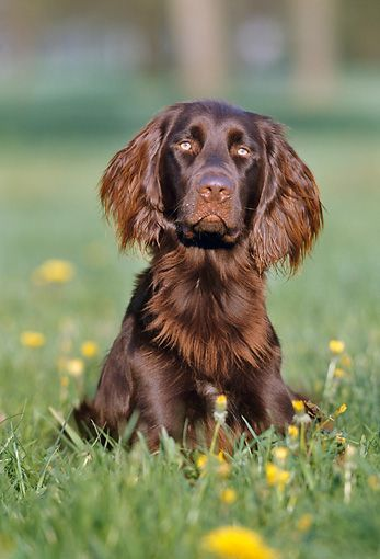 German Long-haired Pointer Puppy Dog [Chien d'arret Allemand à Poil ...