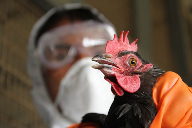 Bird Flu Now In These 7 States In Nigeria  http://abdulkuku.blogspot.co.uk/2017/06/bird-flu-now-in-these-7-states-in.html