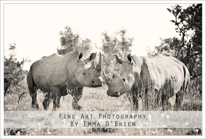 White rhino at Pilanesberg National Park http://emmaobrien.com