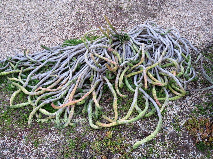 61 best images about euphorbia medusa types on pinterest rare succulents plant - Medusa head planter ...