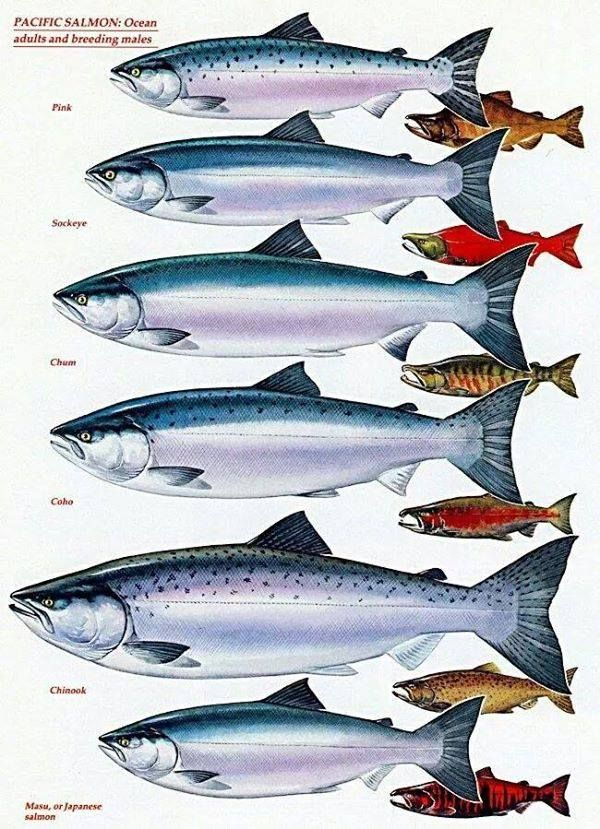 Know your pacific salmon chart adults and breeding males for Fish in alaska