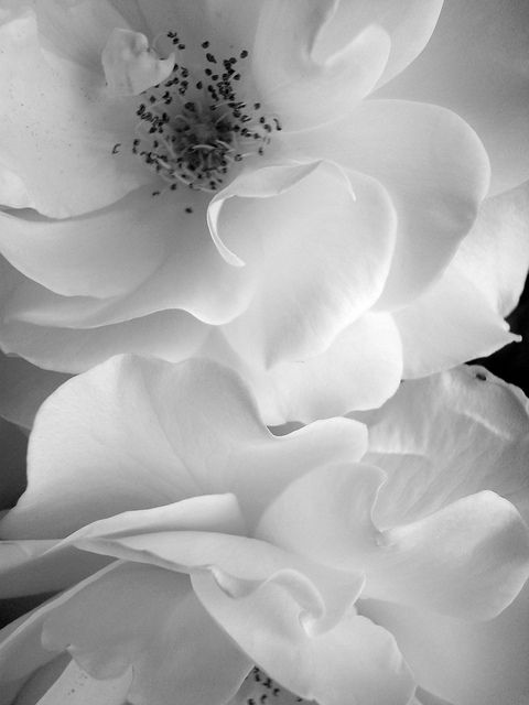 Roses by clang.art, white, black, photography, flower,