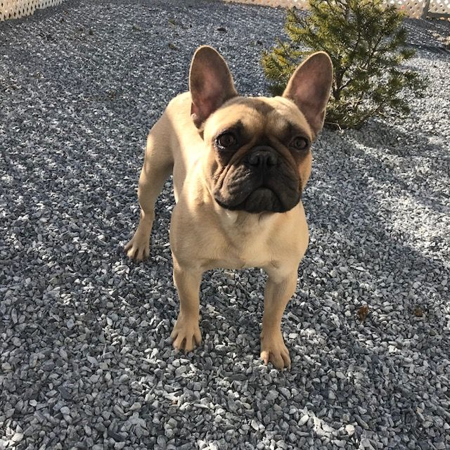 French Bulldog Puppy For Sale In Quarryville Pa Adn 67402 On Puppyfinder Com Gender Male Age 1 Year French Bulldog Puppy Bulldog Puppies For Sale Bulldog