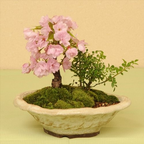 Amazon.co.jp: 盆栽:桜・薔薇寄せ植え* 【春に開花】: ホーム&キッチン