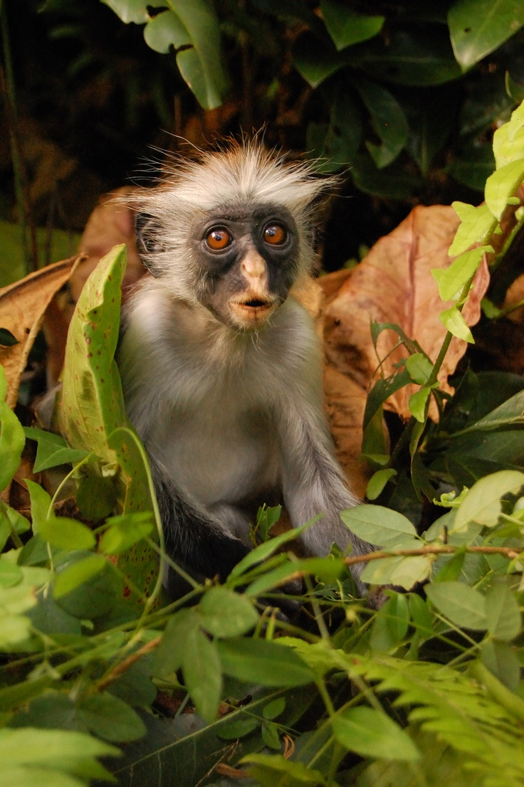 I went on a trip to the spice island of Zanzibar and met this little fellow. A red backed Colobus monkey. Cheeky chappy.