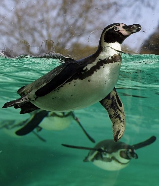 A Humboldt Penguin swims under water after taking a dive from the new Olympic London 2012 style diving board installed in the penguin enclosure at London Zoo, Thursday, March 29, 2012. The Zoo's colony of 64 penguins were introduced to the new diving board on Thursday.