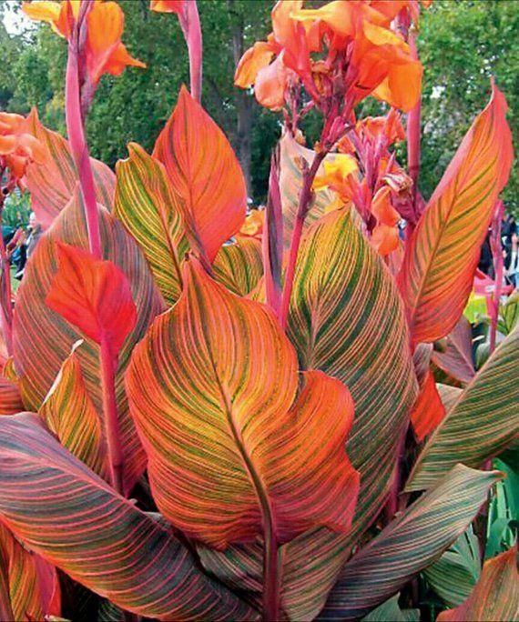 1 Canna Durban Phasion Tropicanna Variegated Foliage Small Etsy Canna Bulbs Tropical Landscaping Canna Flower