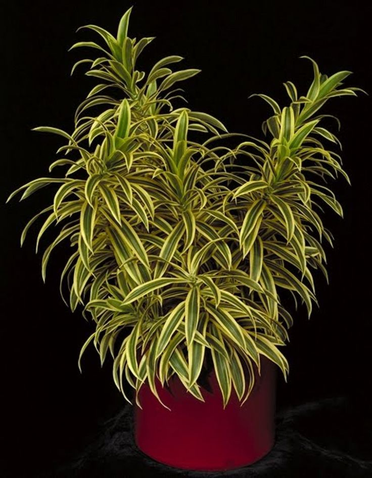 A pleomele é uma planta amplamente utilizada no paisagismo e na decoração de interiores, de característica arbustiva e textura semi-lenhosa. Seu caule é ereto, ramificado e atinge geralmente altura média entro 2 a 3 metros. As suas folhas são coriáceas, simples, de coloração verde-oliva escuro, ligeiramente onduladas e disposta em espiral ao longo dos ramos. As suas flores são pequenas e de coloração branca, no final na estação do inverno é quando acontece a sua floração, reunidas em…