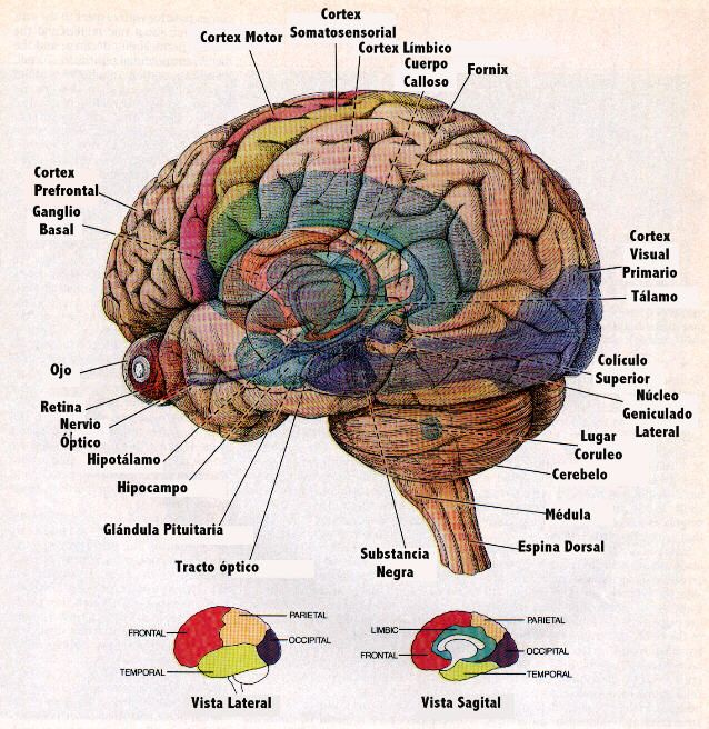 "Nice brain diagram / cartoon showing sub-cortical structures beneath ""transparent"" surface anatomy. Labels in Spanish."