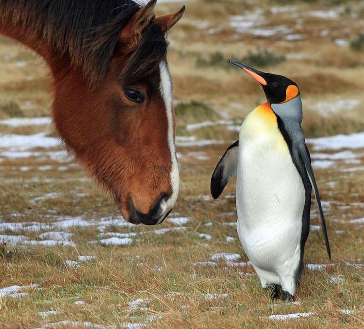 Falklands horses adopt a penguin
