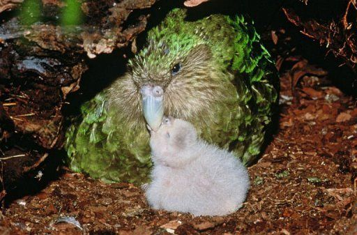 A rare green kakapo parrot and chick on New Zealand's Codfish Island