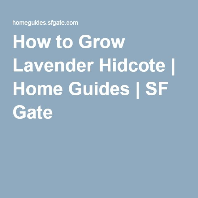 How to Grow Lavender Hidcote | Home Guides | SF Gate