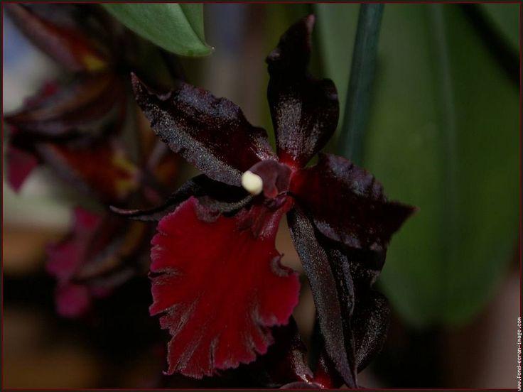71 best fleur noire images on pinterest | plants, flowers and