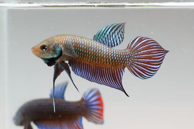 293 best images about betta on pinterest betta fish tank for What type of water do betta fish need