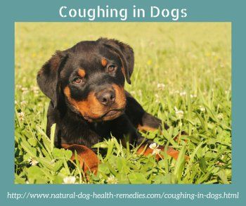 Possible causes of coughing in dogs and some natural remedies that may help ease the cough.