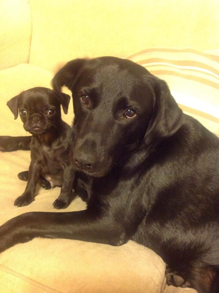 labrador and pug puppy   dawn larkin look its the ebony version of our girls