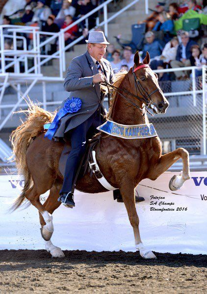 "Saddle Horses SA on Twitter: ""2016 SA Grand Champion Amateur Park Horse – VicWes Mamma's Choice – shown by Phillip Piek for owner P J Piek. https://t.co/KWJ3dXINtt"""