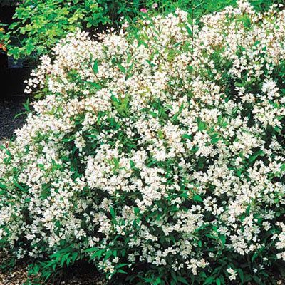 Combine shrubs that bloom in early spring with those that continue to provide color into summer. Compact varieties stay neat in winter after their leaves have dropped.    Slender Deutzia is a mound of slender, flower-filled branches. 'Nikko' blooms in spring with white flowers and dark blue-green foliage. Can grow up to 2 feet high and 5 feet wide; USDA Hardiness Zones 5 to 8.