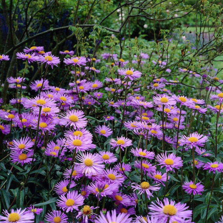 If your pets are infested with fleas, tall fleabane might just keep them away!  Erigeron is the family name for a group of plants that flower in spring and summer time. Sporting decidedly daisy like blooms, they can be found in varying colours from white through to vibrant orange. Fleabane is an excellent choice for anyone looking for a low maintenance addition to their garden, as it requires little on-going care