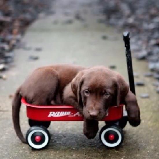 Awww ... Puppy looks so tired, he needs his Radio Flyer Wagon! #Chocolate_Lab