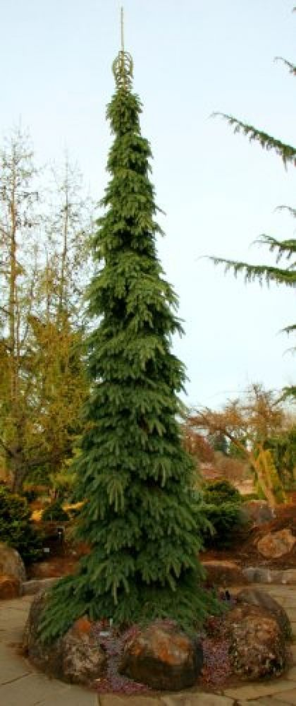 WEEPING WHITE SPRUCE - Picea glauca 'Pendula' 2 - YEAR PLANT #JapaneseMaplesandEvergreens