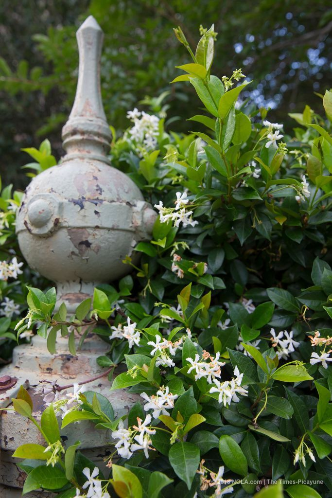 How tall is that star jasmine? Check out this vine growing